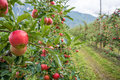 Apples hanging from a tree branch in an apple orchard. Royalty Free Stock Photo