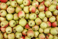Apples harvesting time photography of green ripe Stock Photos