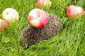 Apples on a hedgehog is the background of green grass Royalty Free Stock Photography