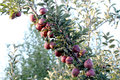 Apples in an Orchard, morning shot Royalty Free Stock Photo