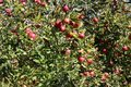 Apples ripen on the branches