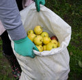 Apples in sack collecting ripe harvest time Royalty Free Stock Photos