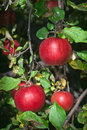 Apples in Tree Royalty Free Stock Images