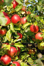 Apples on a tree Royalty Free Stock Images