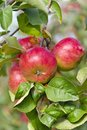 Apples on a tree branch in the garden Stock Photos