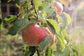 Apples on a tree branch Royalty Free Stock Photo