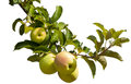Apples on tree branch at an orchard Royalty Free Stock Images