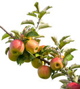 Apples on tree branch at an orchard Stock Images