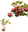 Apples on tree branch at an orchard Royalty Free Stock Photo