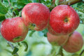 Apples on tree branch organic red with water drops Royalty Free Stock Photo