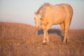 Approaching horse horizontal image of palomino at sunset Royalty Free Stock Images