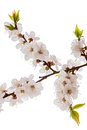Apricot blossom brunch isolated on white studio shot of Royalty Free Stock Images