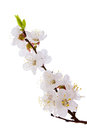 Apricot blossom brunch studio shot of isolated on white Royalty Free Stock Photo