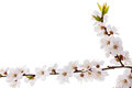 Apricot blossom brunch studio shot of isolated on white Royalty Free Stock Photos