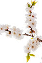 Apricot blossom brunch studio shot of isolated on white Royalty Free Stock Images