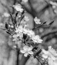 Apricot blossom Royalty Free Stock Photo