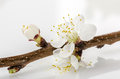 Apricot branch blossom against white background Stock Photo
