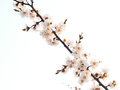 Apricot branch with flowers in the morning sun Stock Photo