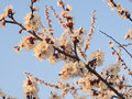 Apricot branch with flowers in the morning sun Stock Photos