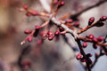 Apricot flower bud on a tree branch branch with tree buds Royalty Free Stock Photo