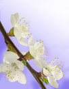 Apricot flowers Stock Photography