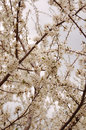Apricot flowers Royalty Free Stock Photography