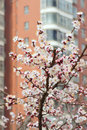 Apricot flowers blooming front modern building Royalty Free Stock Photo