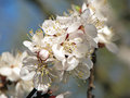 Apricot Flowers On Blurred Bac...