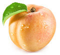Apricot fruit with leaf and water drops on it. Royalty Free Stock Photo