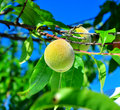 Apricot growing apricots in orchard organic Stock Images