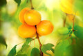 Apricot growing ripe apricots in orchard organic fruits Royalty Free Stock Image