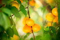 Apricot growing ripe apricots in orchard organic fruits Royalty Free Stock Photography