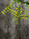 Apricot leaves in the sunshine of with yellow green Stock Photo