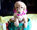 Apricot Poodle Puppy shot Royalty Free Stock Photo