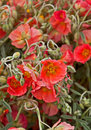Apricot Rockrose Helianthemum Flowers Royalty Free Stock Photos