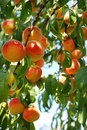 Apricot tree Royalty Free Stock Photography