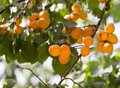 Apricot tree Royalty Free Stock Photo
