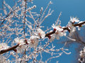 Apricot tree blossom over blue sky Royalty Free Stock Photography