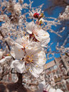 Apricot tree blossom over blue sky Royalty Free Stock Images