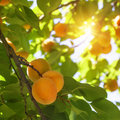 Apricot tree with fruits growing in the garden Royalty Free Stock Photo