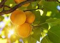 Apricot tree with fruits growing in the garden Royalty Free Stock Image