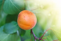 Apricot tree with fruits growing Royalty Free Stock Photo