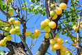 Apricot tree with fruits ripening apricots on a Stock Photography