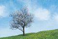 Apricot tree on a hill at flowering time Royalty Free Stock Images