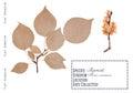 Apricot tree isolated Royalty Free Stock Photo
