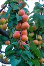 Apricot tree orchard with fresh ripe orange apricots fruits in A Royalty Free Stock Photo