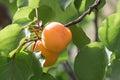 Apricot tree Royalty Free Stock Photo