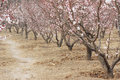 Apricot trees blooming spring Stock Photo
