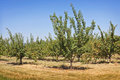 Apricot trees in a summer orchard Stock Photos