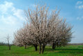 Apricot tress peach trees in a row blossoming at springtime Royalty Free Stock Photos